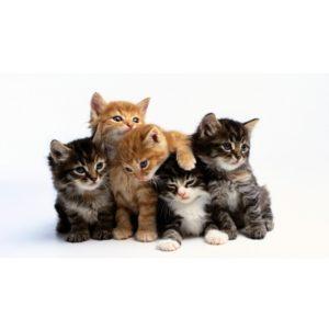 Cat (Feline) Tests