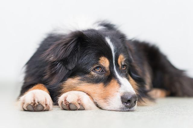 A resting dog.